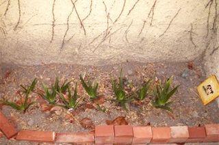 Aloe Spring 2006