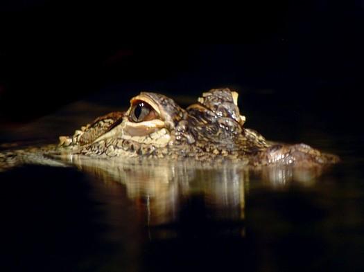 Gator_eyes