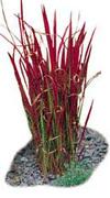 Japanese_blood_grass